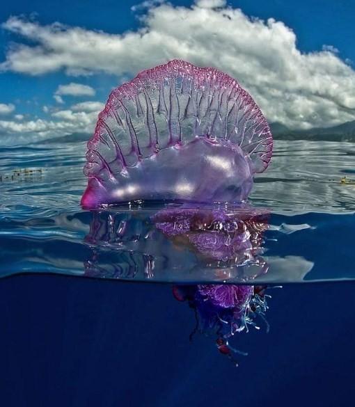 особенно ядовитая медуза