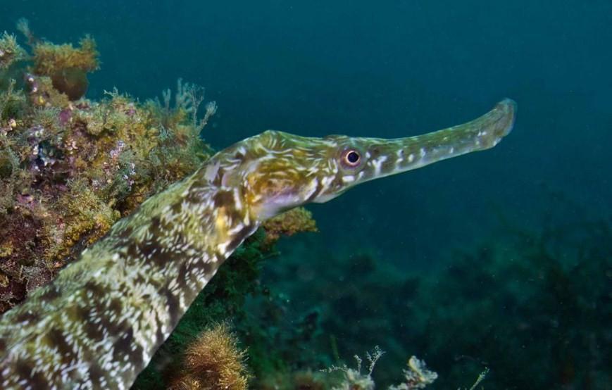 внешний вид рыбы иглы