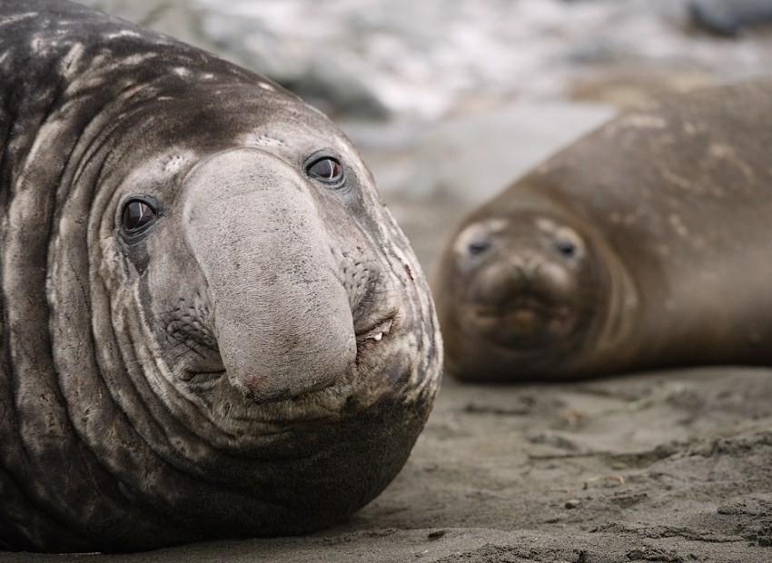 внешний вид морского слона самца и самки
