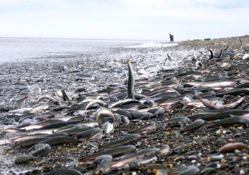 почему мойва выбрасывается на берег