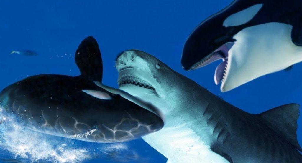 косатки нападают на акулу