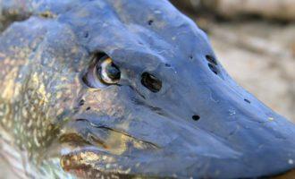как выглядят ноздри у рыб