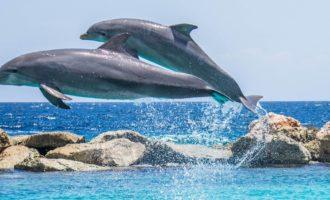 пара дельфинов резвится