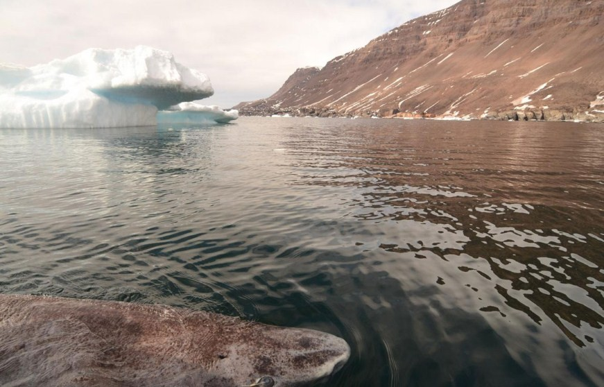 крупная гренландская акула