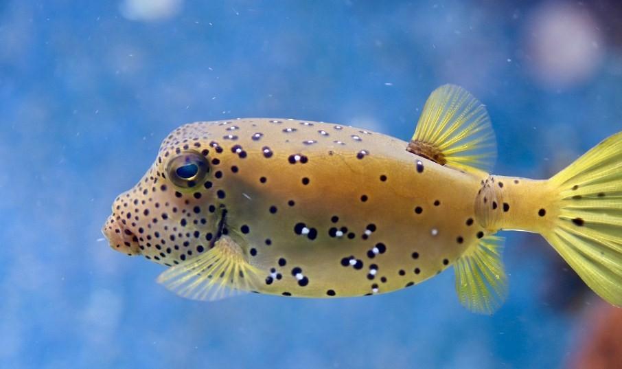 внешний вид рыбы фугу