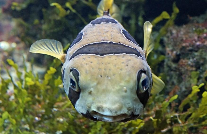 как выглядит рыба фугу
