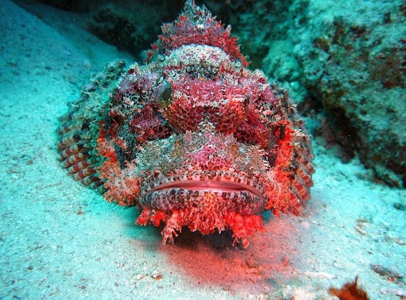 неподвижная рыба камень или бородавчатка