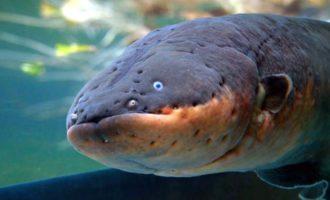 внешний вид рыбы угорь