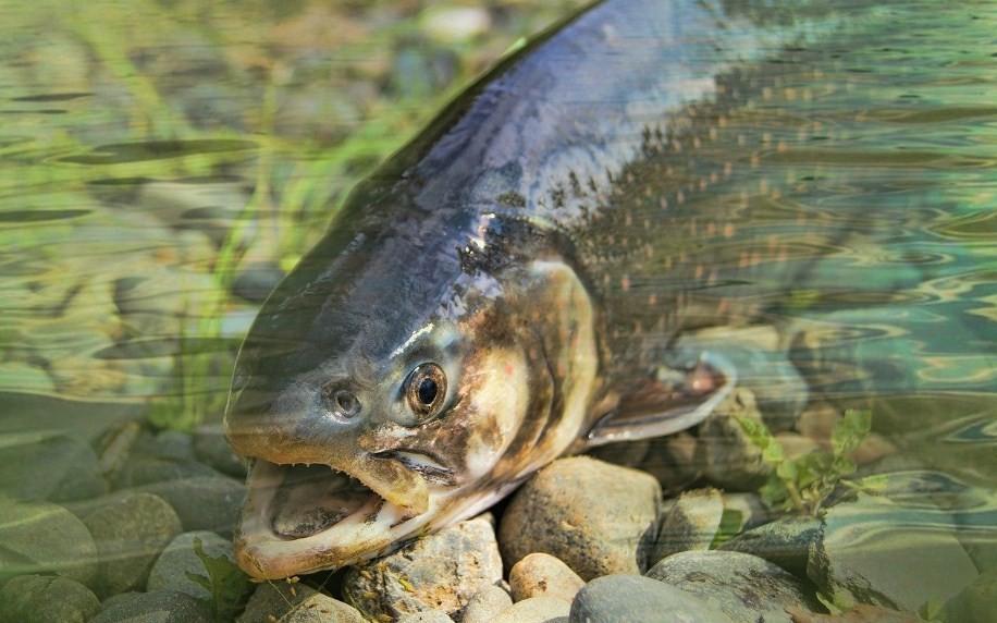 внешний вид лососевых рыб