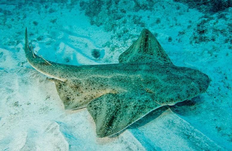 как выглядит акула морской ангел