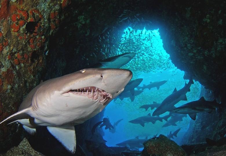 акулы часто отдыхают в пещерах