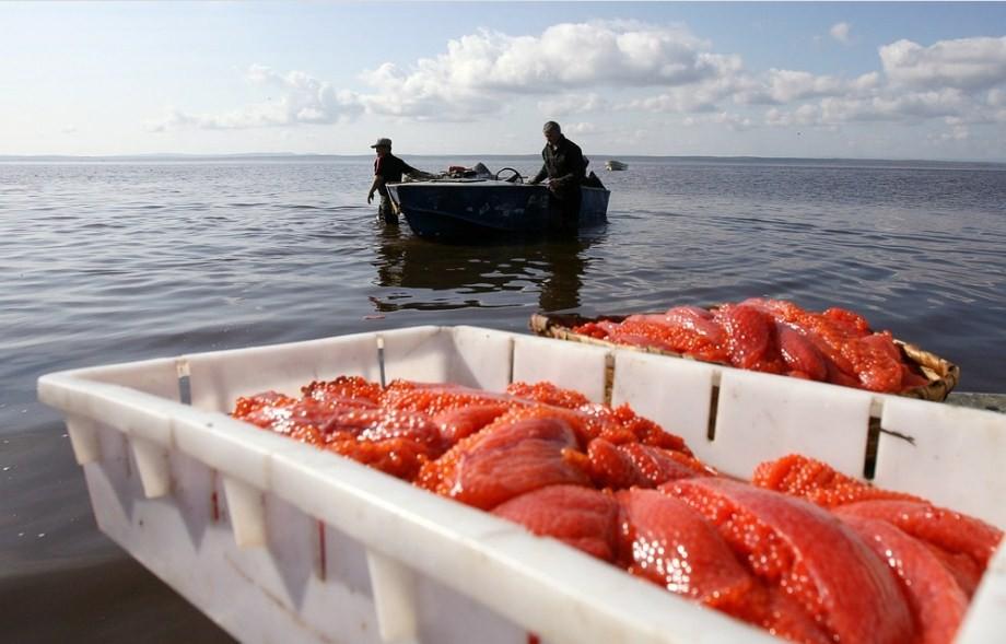 как добывают икру лососей