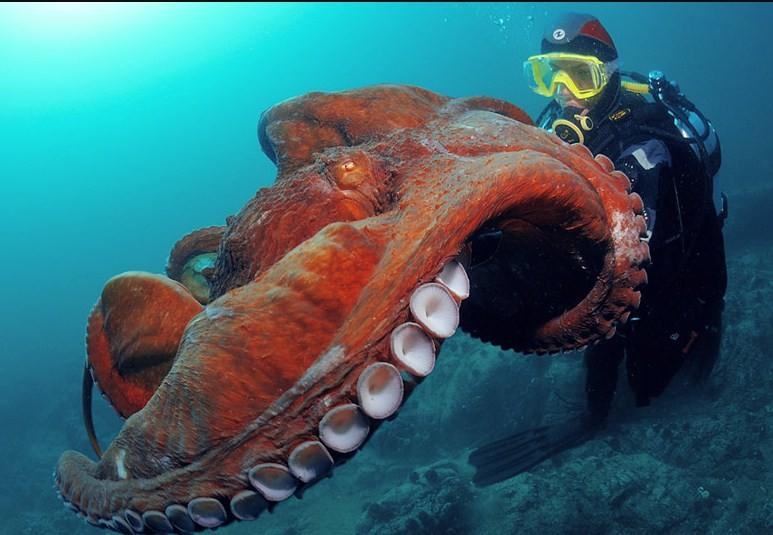 насколько огромными быают осьминоги