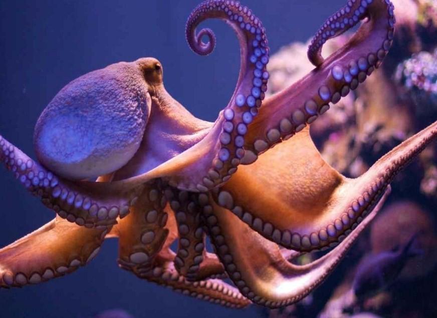 осьминоги гиганты