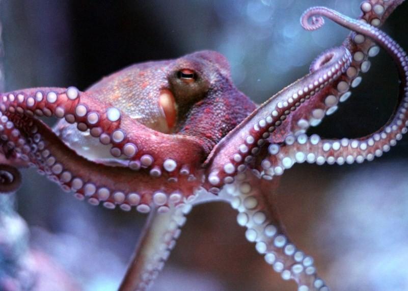 как выглядит осьминог