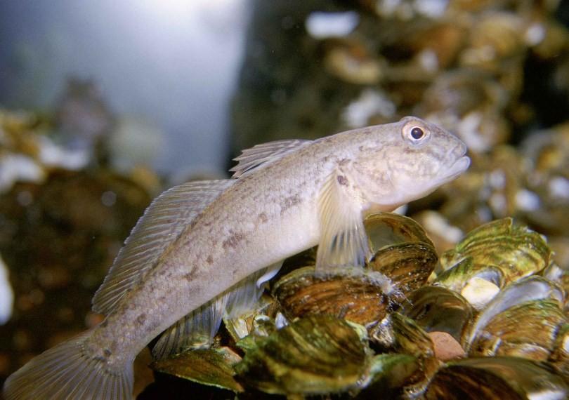 внешний вид рыбы бычок