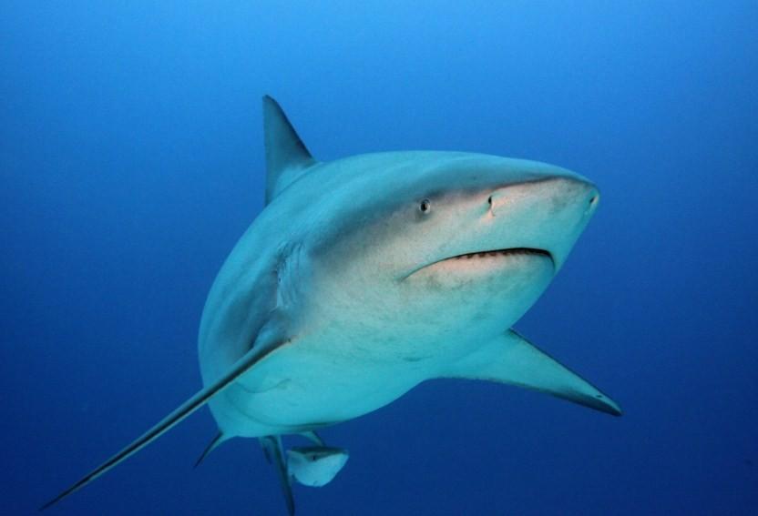 насколько опасна тупорылая акула