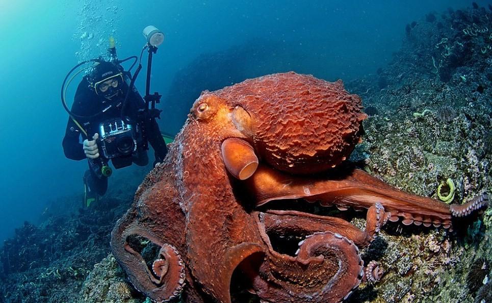 как выглядит гигантский осьминог