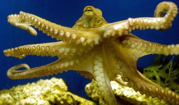 как выглядит желтый осьминог