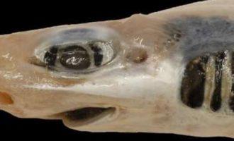 внешний вид пораженной кожачей акулы