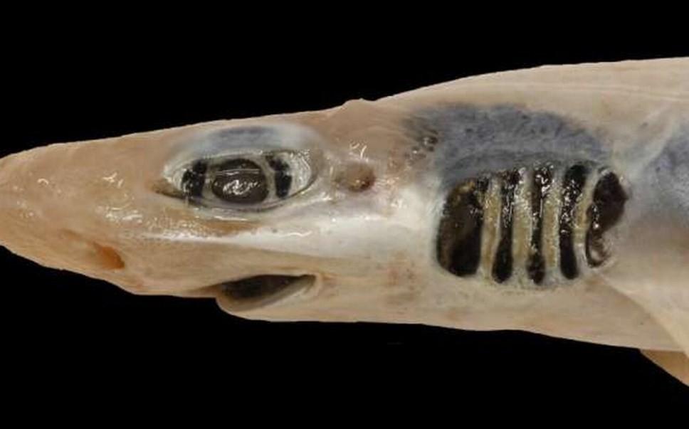 почему акула осталась без зубов и кожи