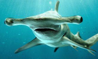 особенности строения молотоголовой акулы