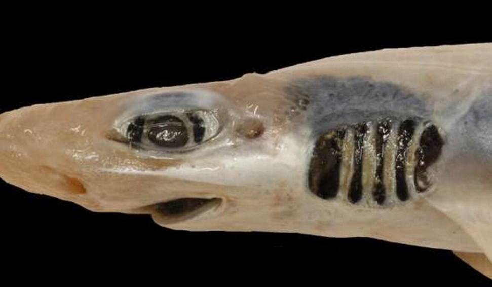 почему кошачья акула потеряла зубы и кожу
