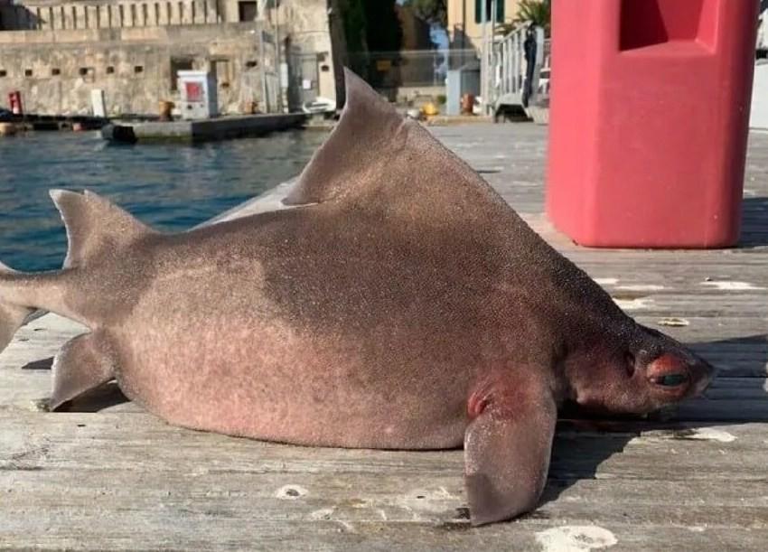 акула-свинья