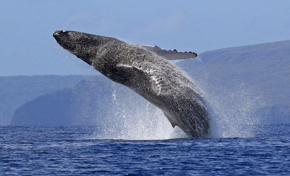 огромный синий кит