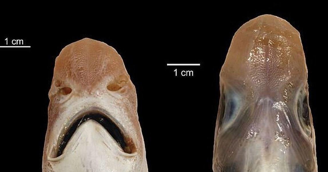 внешний вид акулы без кожи и зубов